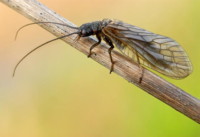 Schlammfliege Schwarze Blattlaus Skorpionsfliege